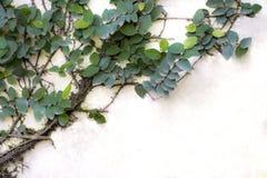 La feuille verte glisse le long du mur en béton gris Image stock