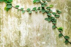 La feuille verte glisse le long du mur en béton gris Photos libres de droits