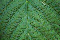 La feuille verte a ridé la texture pour la fin abstraite de fond  Image stock