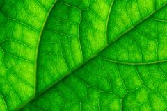 La feuille verte veine le macro plan rapproché Photos stock