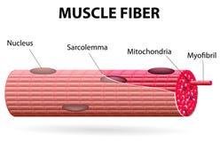 La fibra di muscolo scheletrico Fotografia Stock Libera da Diritti