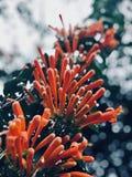 La ficelle de fleur qui ressembler aux pétards images stock