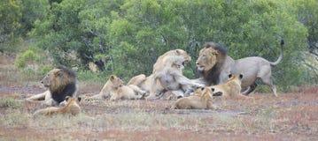 La fierté de lion se reposant ensemble et agissent l'un sur l'autre en plaine ouverte de nature Photographie stock