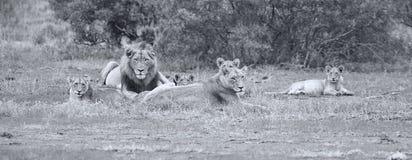 La fierté de lion se reposant ensemble et agissent l'un sur l'autre en plaine ouverte de nature Images libres de droits