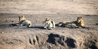La fierté de lion se reposant ensemble et agissent l'un sur l'autre en plaine ouverte de nature Photos libres de droits