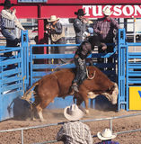 A La Fiesta De Los Vaqueros, Tucson, Arizona. Tucson, Arizona - February 15: The La Fiesta De Los Vaqueros Rodeo on February 15, 2014, in Tucson, Arizona. Bull Stock Photos