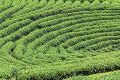 La fila de las plantaciones de té espera la cosecha Fotografía de archivo