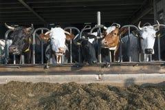 La fila de las vacas negras y rojas de Holstein por la mitad abre el establo Fotos de archivo libres de regalías