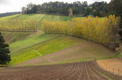 La fila degli alberi di pioppo nel Dandenong varia Fotografia Stock