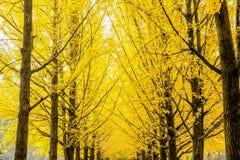 La fila del árbol de Maidenhair amarillo del árbol del biloba del ginkgo, hojas del árbol de maidenhair del biloba del ginkgo da  Foto de archivo libre de regalías