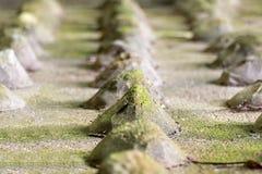 La fila del paño defensivo viejo de las espinas de la piedra cubierto con el musgo resistió al primer sucesivo del foco en primer imagenes de archivo