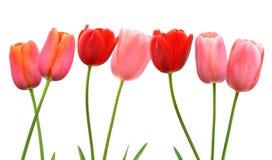 La fila del tulipán de la primavera rosada y roja florece en el fondo blanco Imágenes de archivo libres de regalías