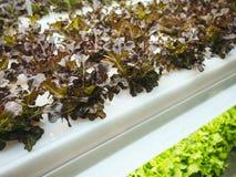 La fila della pianta delle verdure della serra si sviluppa con l'agricoltura dell'interno leggera principale dell'azienda agricol Fotografia Stock