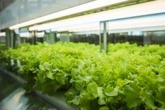 La fila della pianta delle verdure della serra si sviluppa con l'agricoltura dell'interno leggera principale dell'azienda agricol Fotografie Stock Libere da Diritti