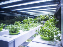 La fila della pianta di serra si sviluppa con l'agricoltura dell'interno leggera dell'azienda agricola del LED Fotografie Stock Libere da Diritti