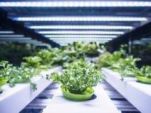 La fila della pianta di serra si sviluppa con l'agricoltura dell'interno leggera dell'azienda agricola del LED Immagine Stock Libera da Diritti