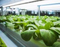La fila della pianta di serra si sviluppa con l'agricoltura dell'interno leggera dell'azienda agricola del LED Immagini Stock