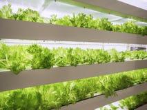 La fila della pianta di serra si sviluppa con la tecnologia dell'interno leggera dell'agricoltura dell'azienda agricola del LED immagine stock libera da diritti