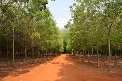 La fila due degli alberi di gomma che raccolgono per l'industria crea una strada unica profonda nel Vietnam Fotografie Stock