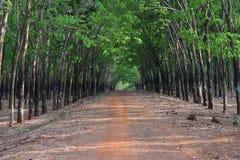 La fila due degli alberi di gomma che raccolgono per l'industria crea una strada unica profonda nel Vietnam Fotografie Stock Libere da Diritti