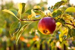 La filiale con la mela immagini stock