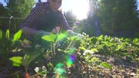 La fille dans la chemise travaille à un lit des verts