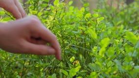 La fille de l'adolescence rassemble des myrtilles dans la forêt, glissière clips vidéos