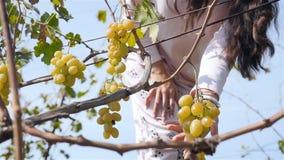 La fille passe par le vignoble La main de la fille prend des raisins Plan rapproché Au ralenti banque de vidéos