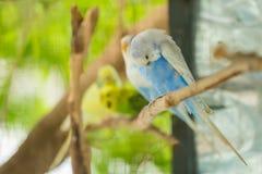 La fin bleue et blanche de perroquet de perruche se repose sur la branche d'arbre image stock