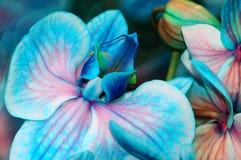 La fin d'orchidée bleue vers le haut du macro Photos libres de droits