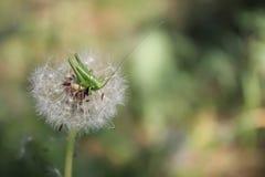 La fin d'une sauterelle se repose sur un pissenlit Photographie stock