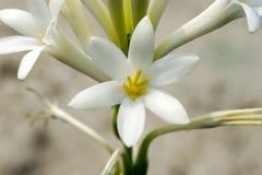 la fin de macro de fleur de reine de nuit vers le haut du vert blanc de vue a flairé avec Image stock