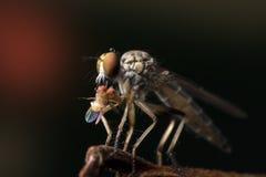 La fin de mouche de voleur en Thaïlande Photo libre de droits