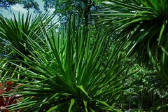 La fin de Sunny Tropical Leaves Sharp Bush vers le haut du vert de Bush de jungle de fond a saturé photos stock