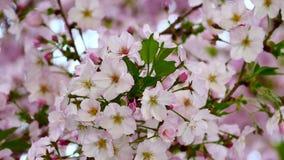 La fin de vidéo de nature vers le haut des fleurs de cerisier du Japon sur le cerisier sont saison de pleine floraison de vent au clips vidéos