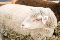 La fin des moutons gris blancs du Romanov multiplient Moutons dans un pe Image stock