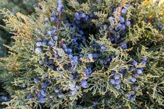 La fin du cône - comme une baie - excelsa de juniperus, généralement appelé le genévrier grec photographie stock libre de droits