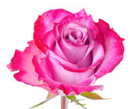 La fin en hausse de la belle fleur romantique abstraite de rose de rouge est isola Images stock