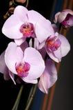 la fin fleurit l'orchidée vers le haut Images stock