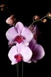 la fin fleurit l'orchidée vers le haut Photos stock