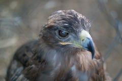 La fin principale d'Eagle derrière la cage de zoo photographie stock