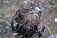 La fin principale d'Eagle derrière la cage de zoo photographie stock libre de droits