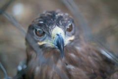 La fin principale d'Eagle derrière la cage de zoo images libres de droits