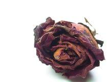La fin a séché la tête de fleur rose, pétale de fleur Images stock