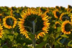 La fin se développante de tournesol contre le soleil photographie stock libre de droits
