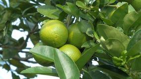La fin a tiré le citron vert non mûr frais et de nature sur l'arbre, chaux verte en nature banque de vidéos