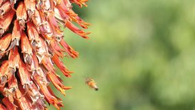 La fin a tir? d'une fleur d'alo?s avec le fonctionnement d'abeille banque de vidéos