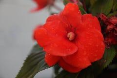 La fin vers le haut de la fleur rouge images stock