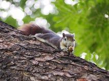 La fin vers le haut de l'écureuil mangent l'écrou sur l'arbre Photos libres de droits