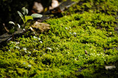 La fin vers le haut de l'usine verte de mousse de lichen se développent sur le bois photos stock